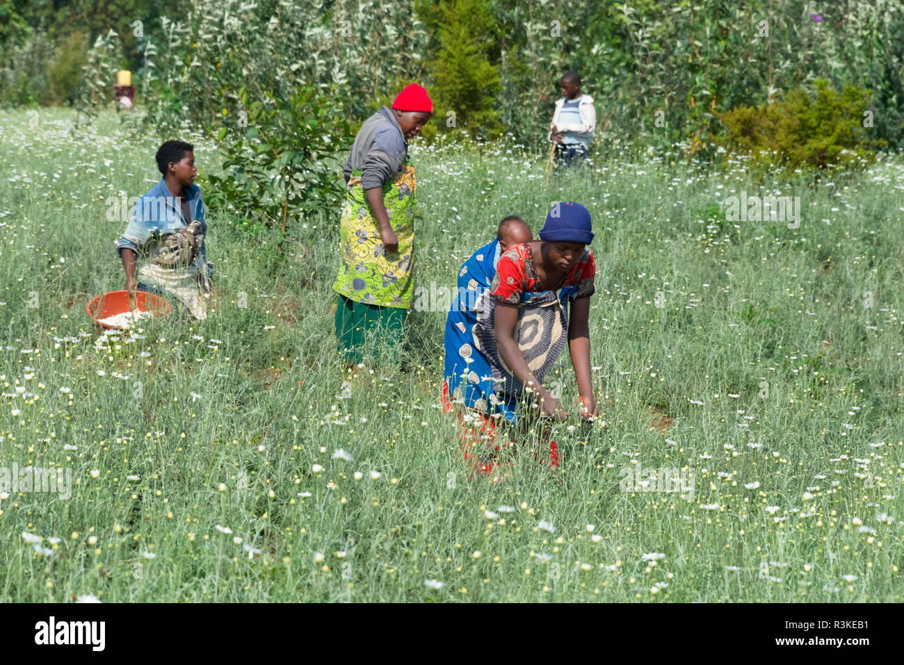 Farmers collecting daisy, Rwanda - Stock Image