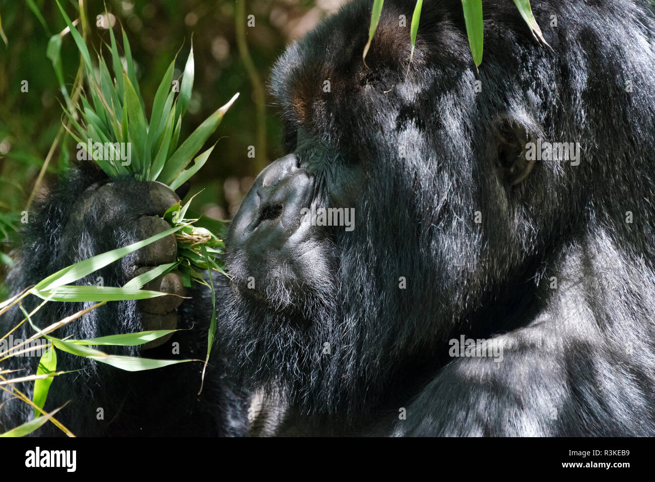 Silverback gorilla in the forest, Parc National des Volcans, Rwanda Stock Photo