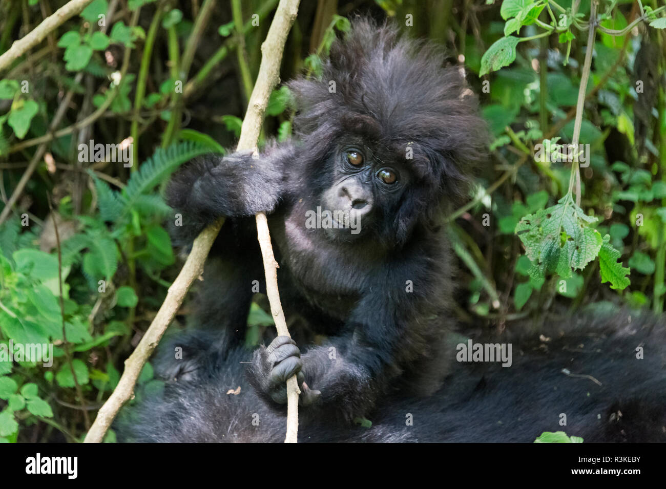 Gorilla mother with 6-month-old baby in the forest, Parc National des Volcans, Rwanda - Stock Image