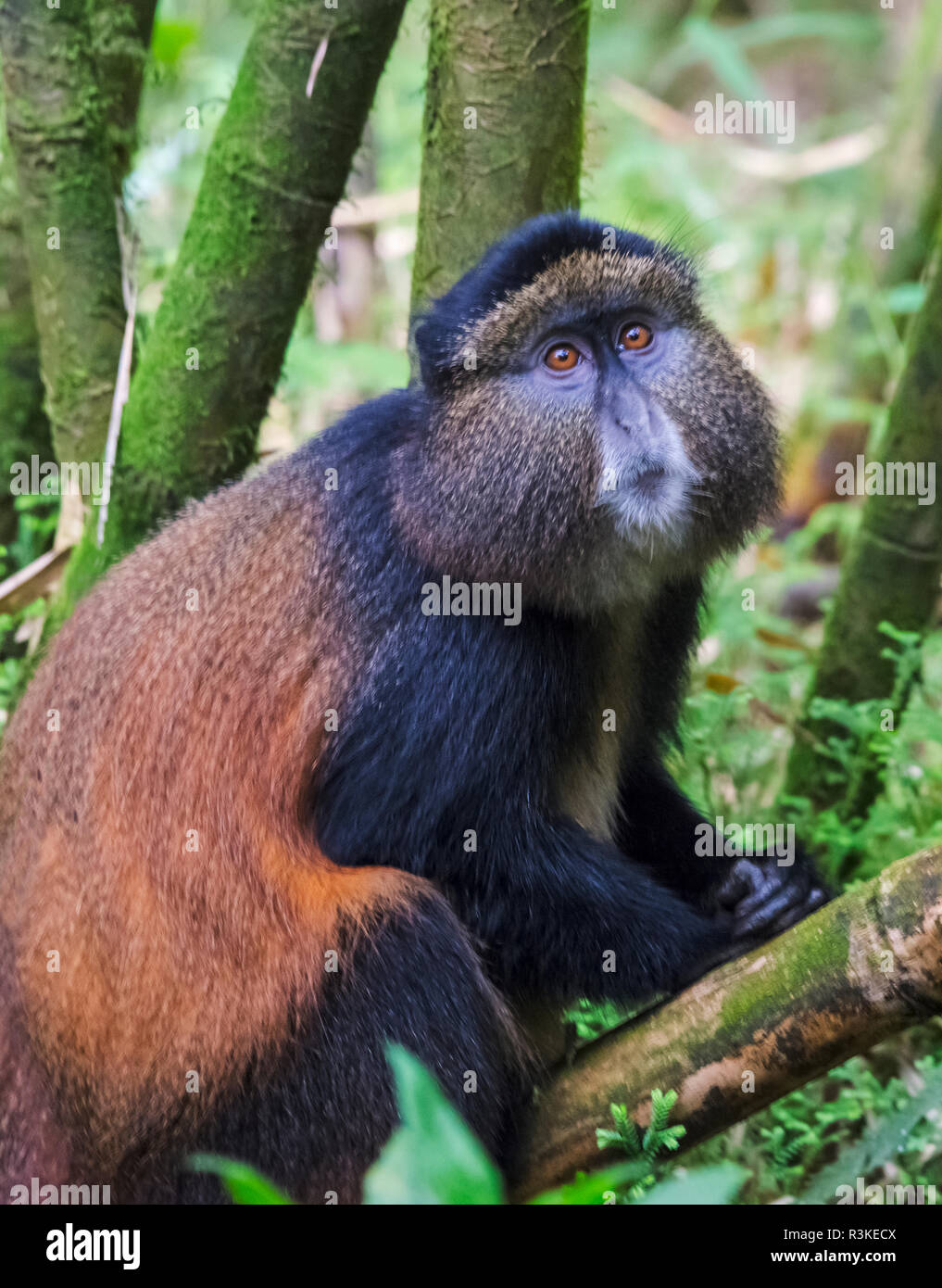 Golden Monkey (Cercopithecus Mitis Kandti) in the bamboo forest, Parc National des Volcans, Rwanda - Stock Image