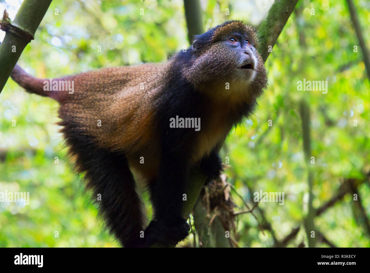 Golden Monkey in the bamboo forest, Parc National des Volcans, Rwanda - Stock Image