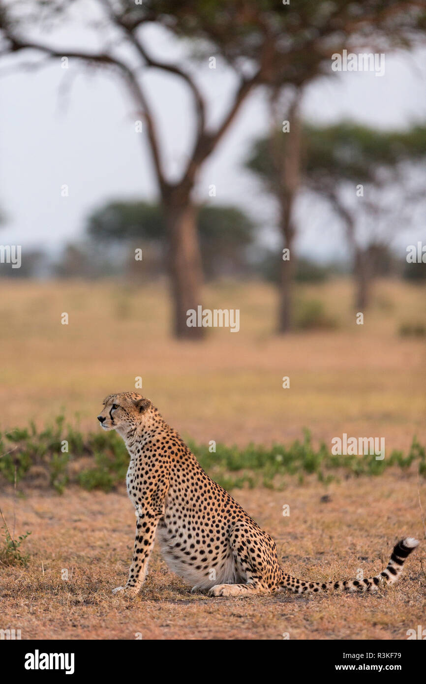 Cheetah (Acinonyx jubatus) resting in the early morning sunlight in the Serengeti National Park, Tanzania - Stock Image