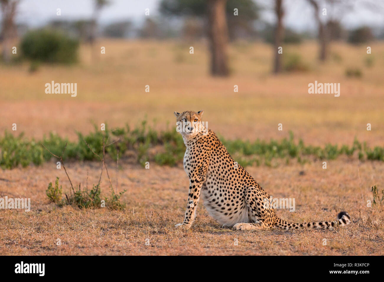 Cheetah (Acinonyx jubatus) resting in early morning sunlight in the Serengeti National Park, Tanzania - Stock Image