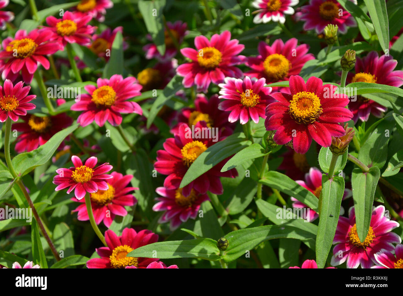 Close up of a flower border with colouful flowering Zinnia 'Zany Rose Pico' Stock Photo