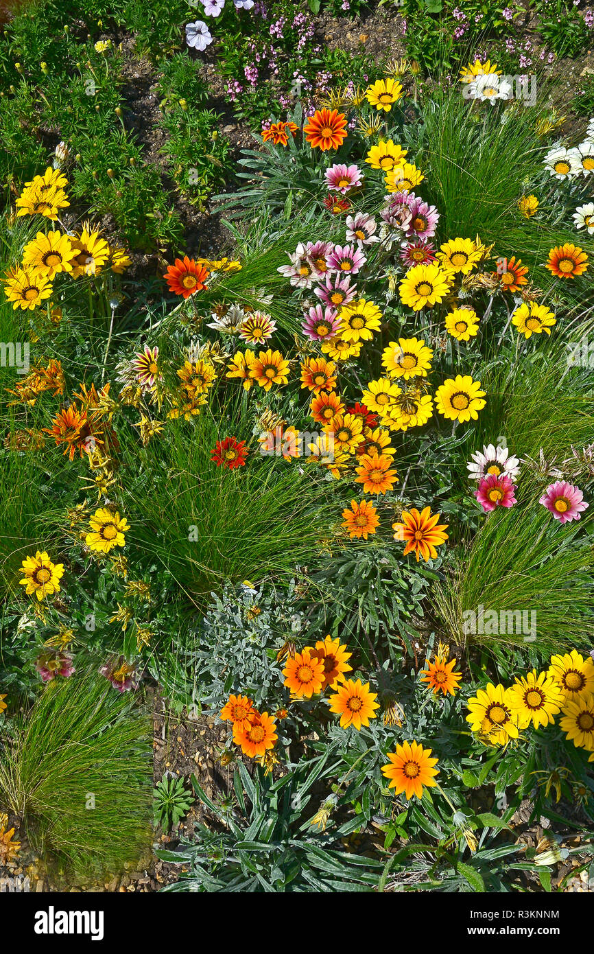 Close up of a flower border with the colouful flowering Gazania 'Frosty Mixed' Stock Photo