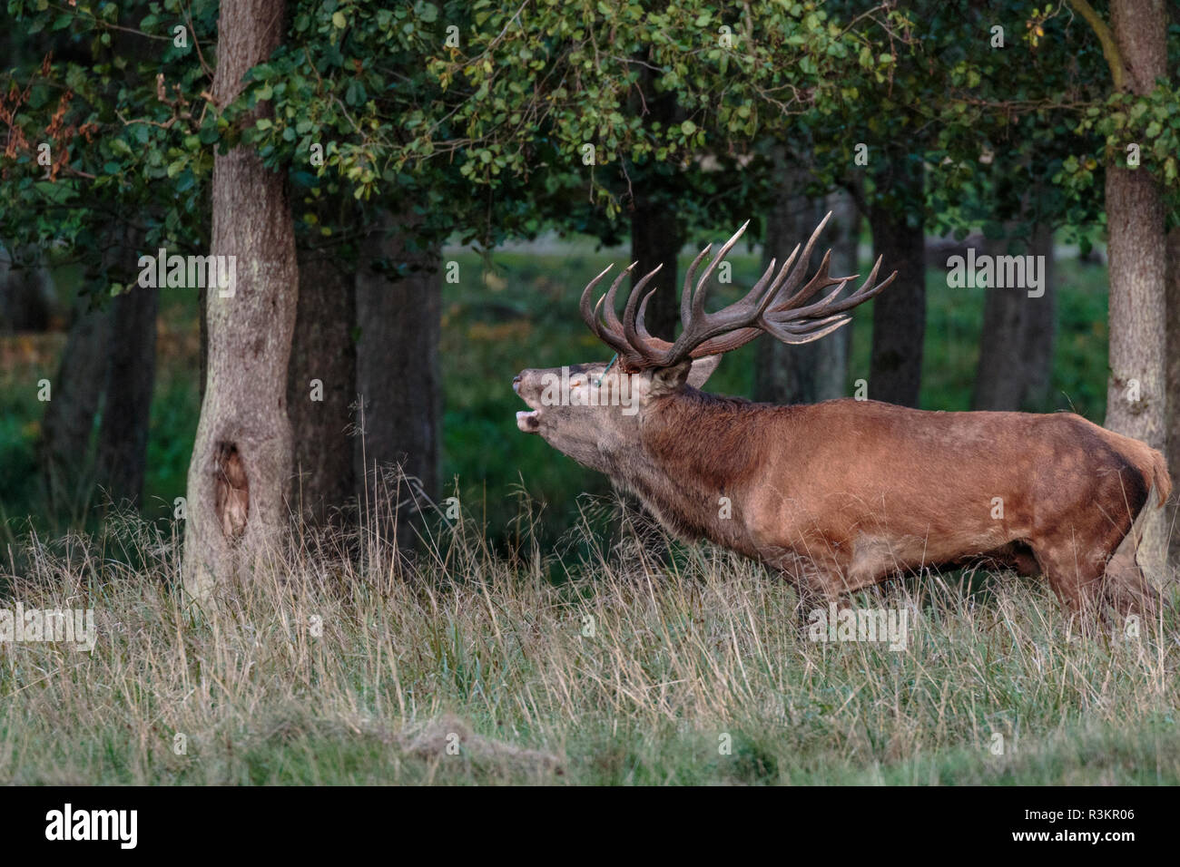 Stag during rutseason standing among trees bellowing, Jaegerborg dyrehaven, Denmark - Stock Image