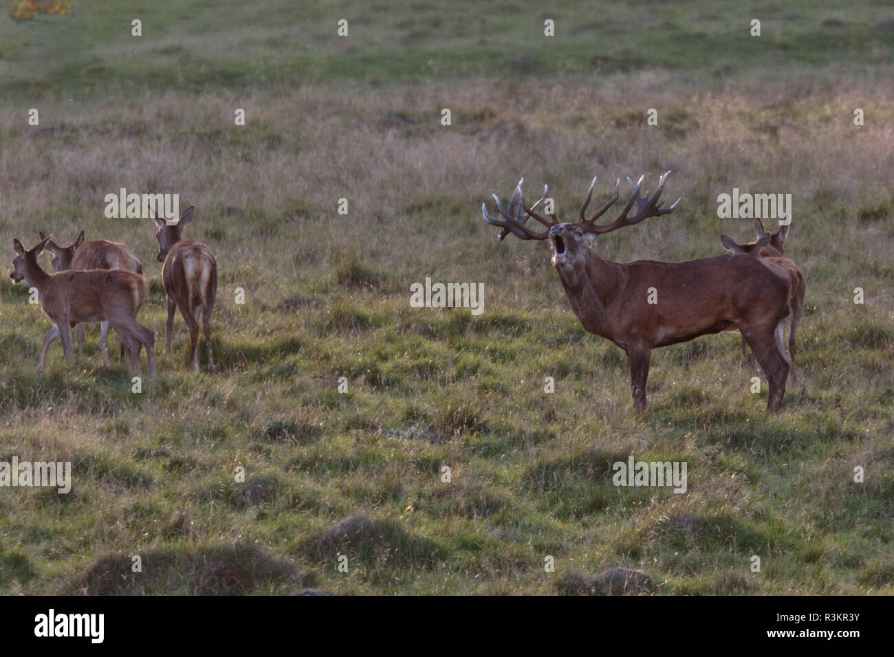 Stag during rutseason walking on a grass field with hinds bellowing, looking towards the camera,  Jaegersborg dyrehaven, Denmark - Stock Image