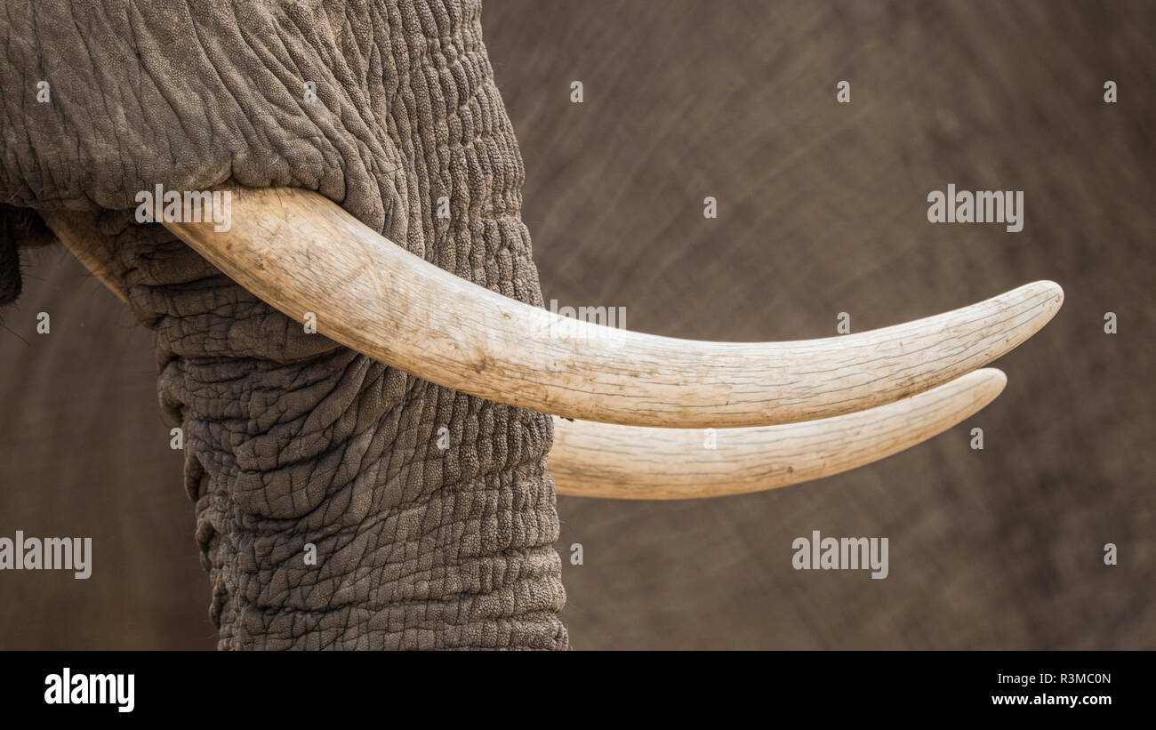 Africa, Zimbabwe, Mana Pools National Park. Close-up of elephant tusks. Credit as: Bill Young / Jaynes Gallery / DanitaDelimont.com - Stock Image