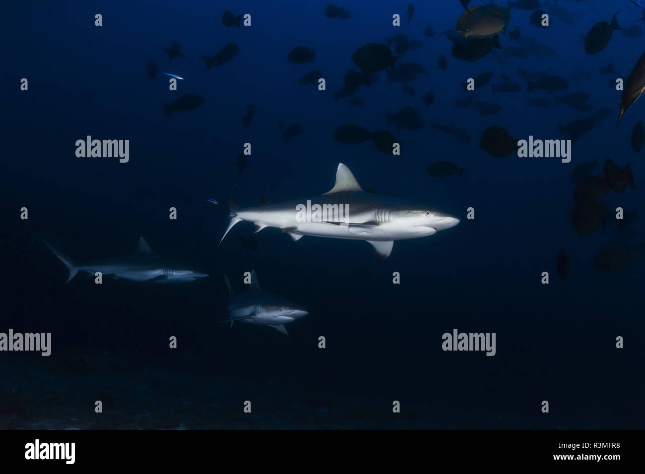 Grey reef shark (Carcharhinus amblyrhynchos) roaming around the entrance of the cave, Mayotte - Stock Image