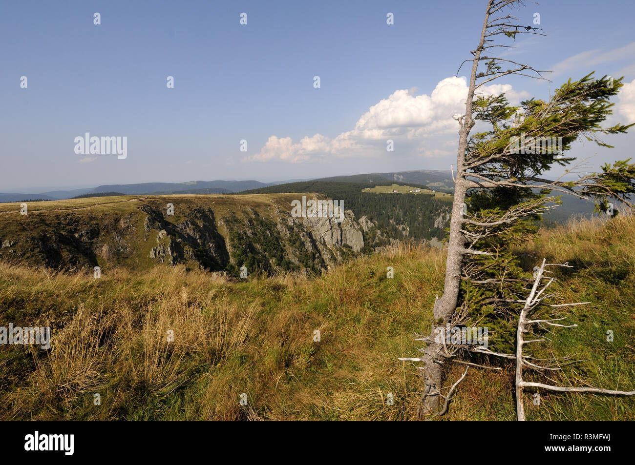 Silver fir (Abies alba) shaped by prevailing wind. View of the glacial cirque, the meadow of the Trois Fours, the Col du Falimont, the Hohneck, altitude 1200 m, Hautes Vosges, Haut Rhin, France - Stock Image