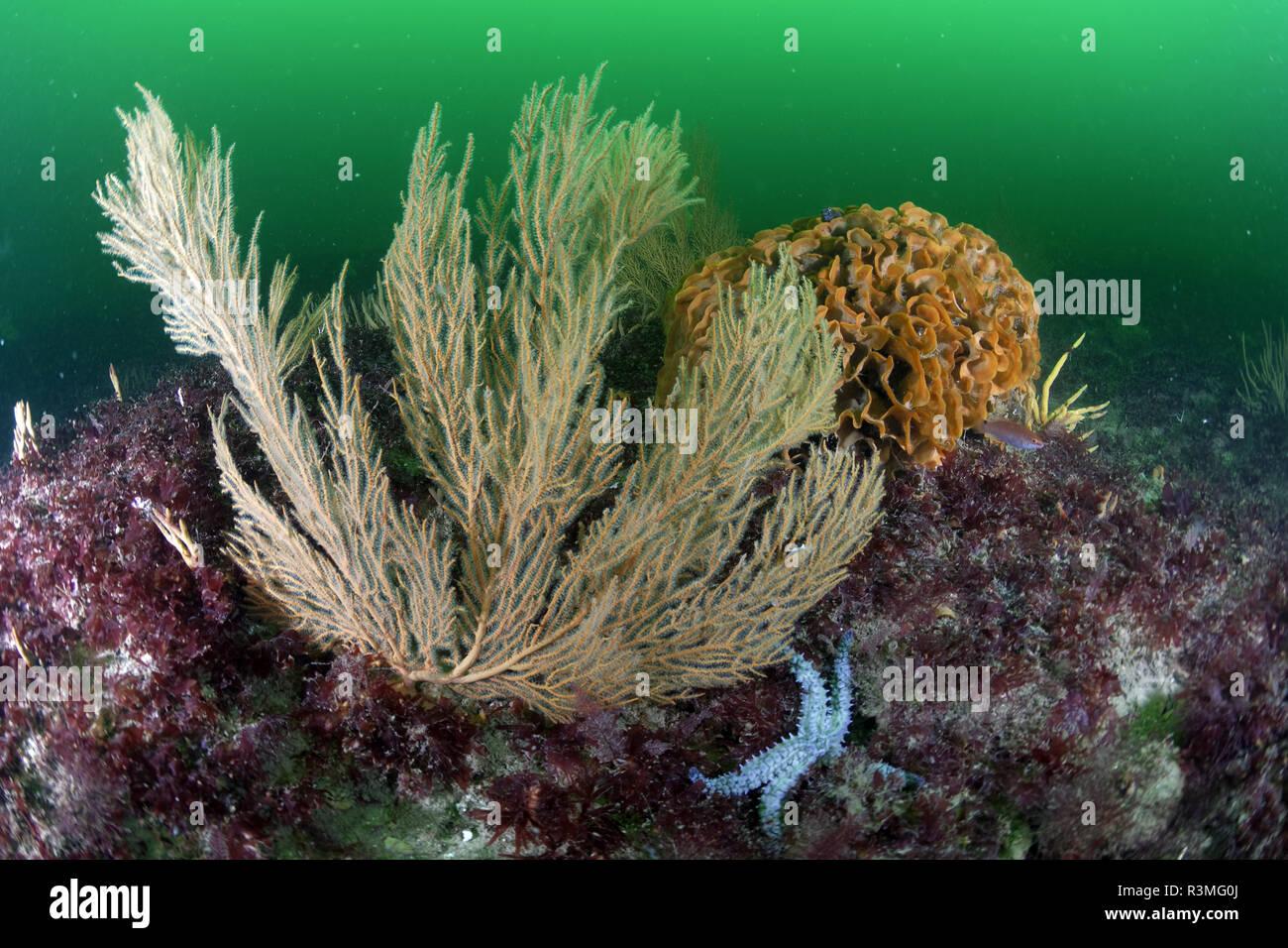 Rose coral (Pentapora fascialis) and Orange Gorgonian (Leptogorgia sarmentosa) - 20 meters deep, off the island of Oleron, Atlantic Ocean, France Stock Photo