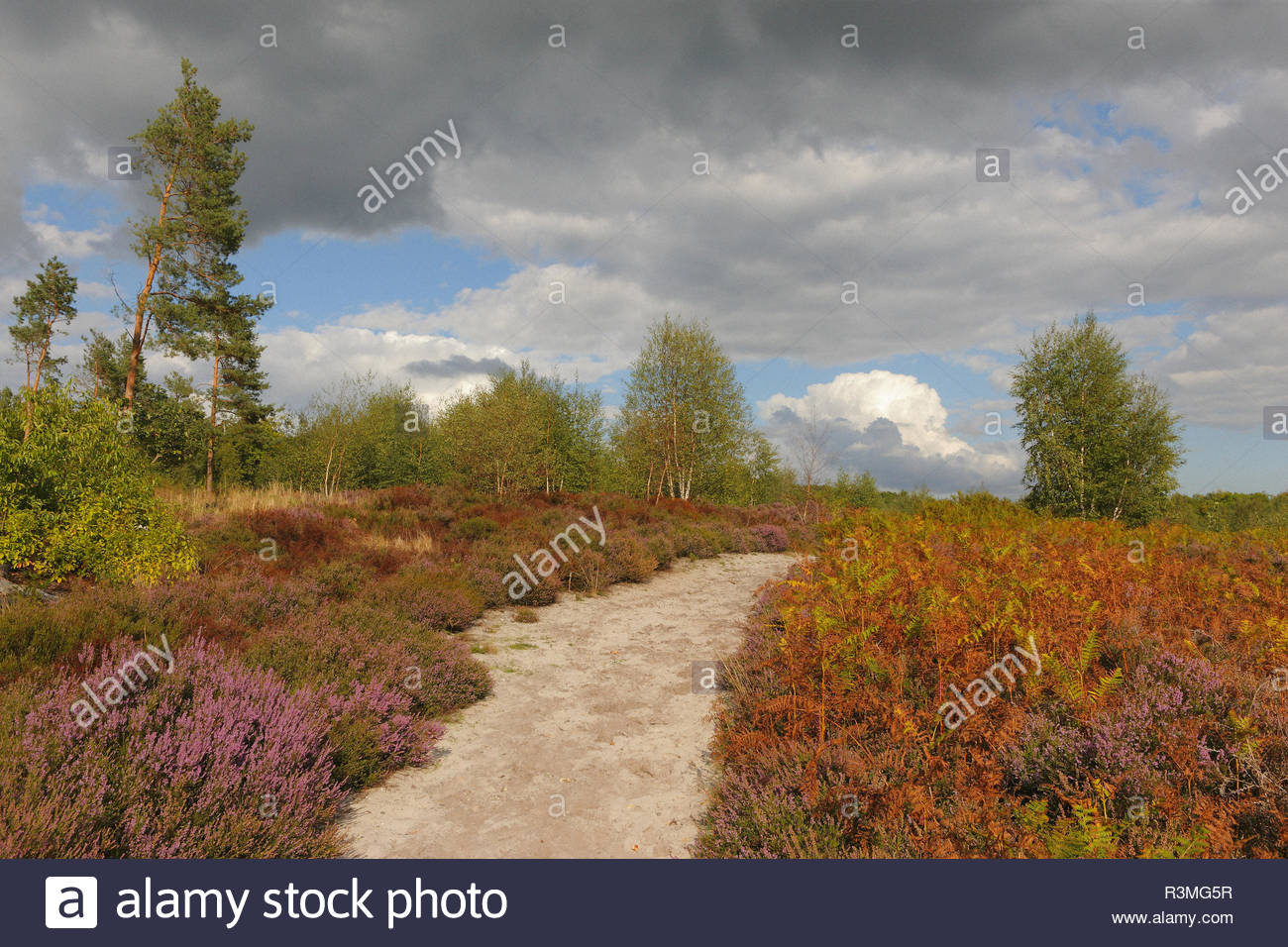 Heather moor (Calluna vulgaris) dotted with Scots pines (Pinus sylvestris), white birches (Betule pendula), and Eagle ferns (Pteridium aquilinum), on a sandy soil in a clearing in the Compiegne forest, at the end of the summer, Picardie, France. - Stock Image