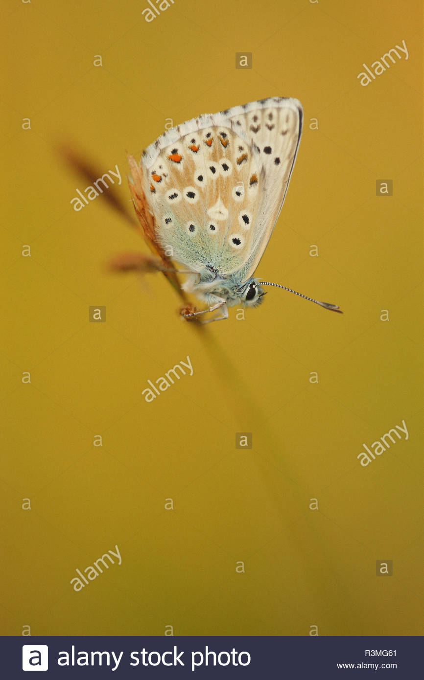 Chalkhill Blue (Polyommatus coridon) on an ear of grass on the lawn of a limestone hill, in summer, Picardie, France. - Stock Image