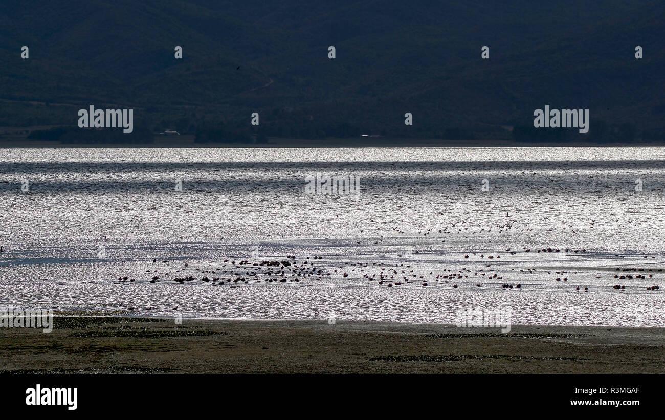 Wild duck (Anatidae sp) migratory group in autumn, Lake Kerkini, Greece - Stock Image