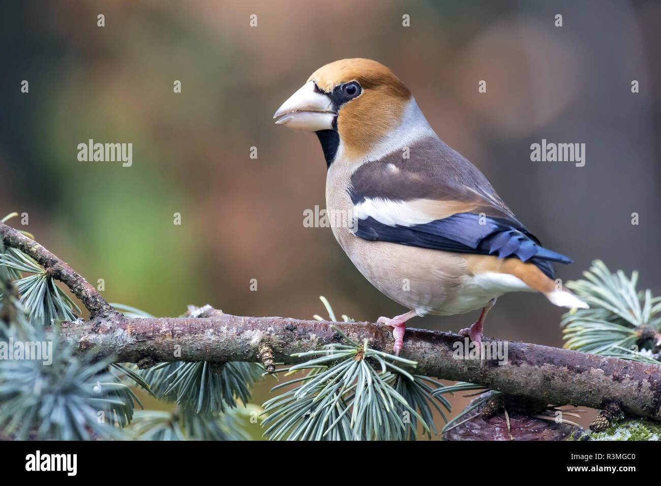 Hawfinch (Coccothraustes coccothraustes) male on a Cedar branch in winter, Country Garden, Lorraine, France - Stock Image