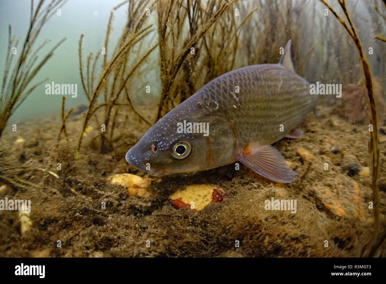 Common Nase (Chondrostoma nasus), Le Cher River, Loir-et-Cher, France Stock Photo