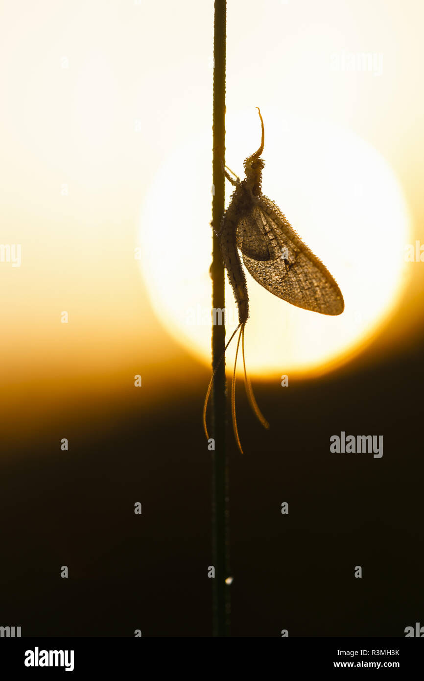 Mayfly (Ephemera danica) at dawn against light, Arles, Provence, France - Stock Image