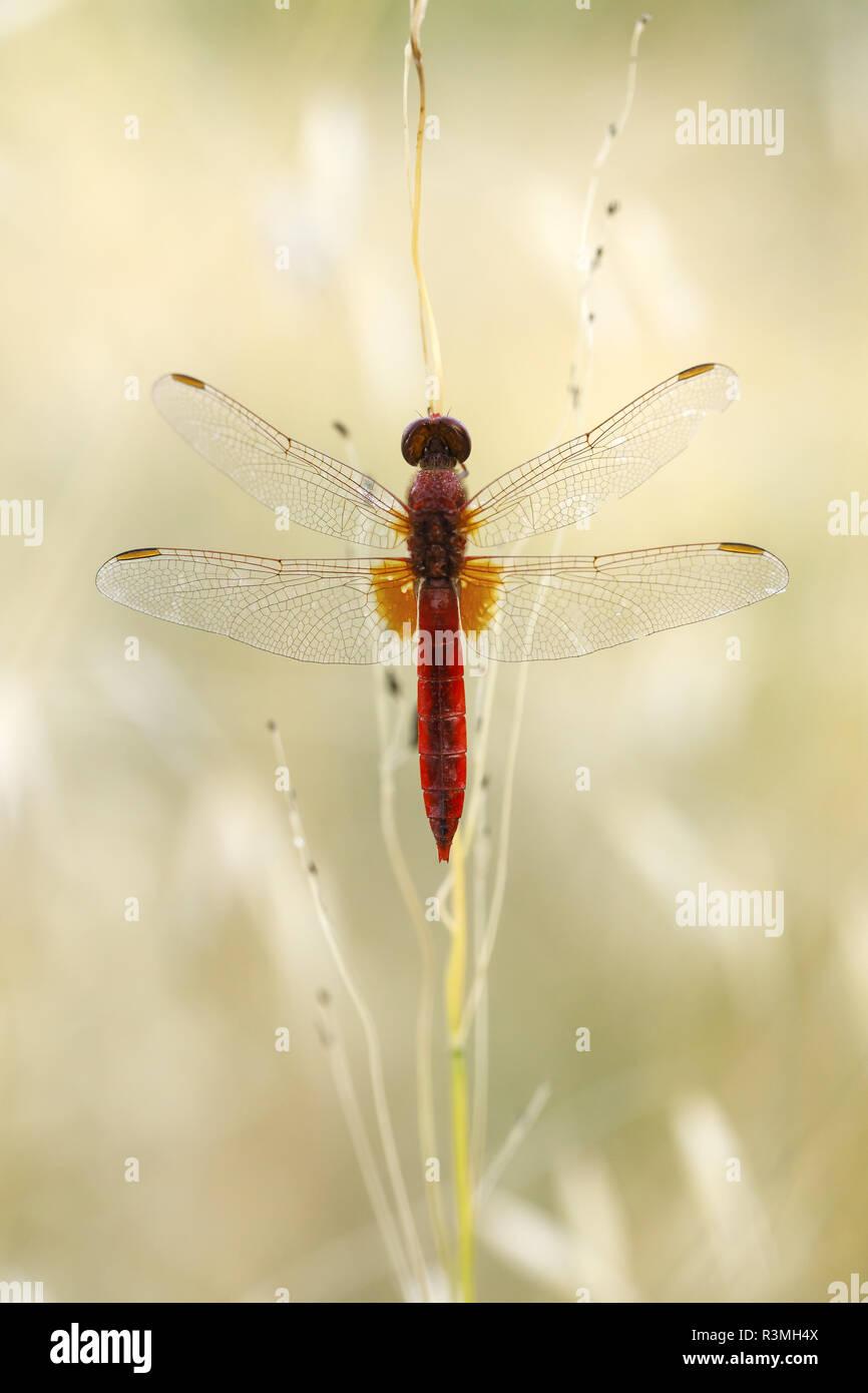 Scarlet dragonfly (Crocothemis erythraea), Arles, Provence, France Stock Photo