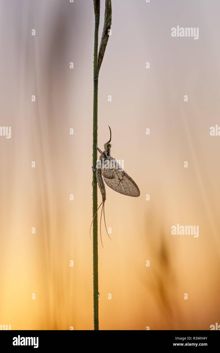 Mayfly (Ephemera danica) at dawn, Arles, Provence, France - Stock Image
