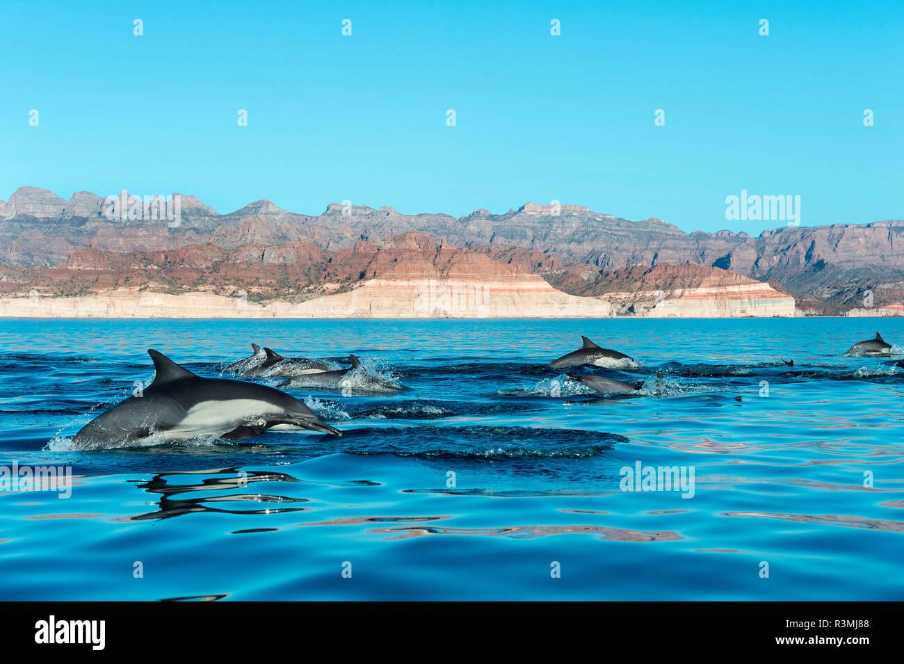 Common dolphin (Delphinus delphis) Gulf of California Mexico. - Stock Image