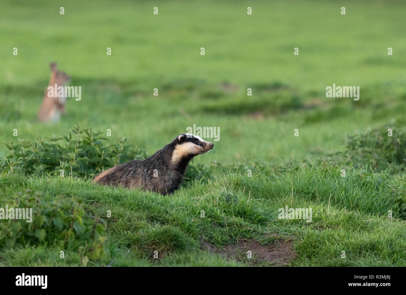 Badger (Meles meles) standing in a meadow - Stock Image