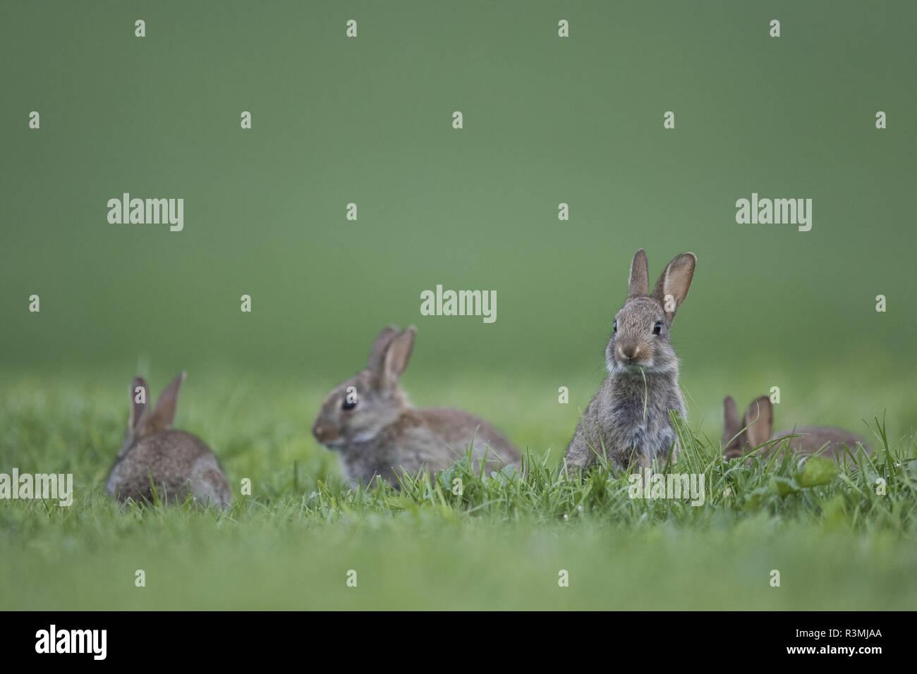 Rabbit (Oryctolagus cuniculus) juveniles, Burgundy, France - Stock Image