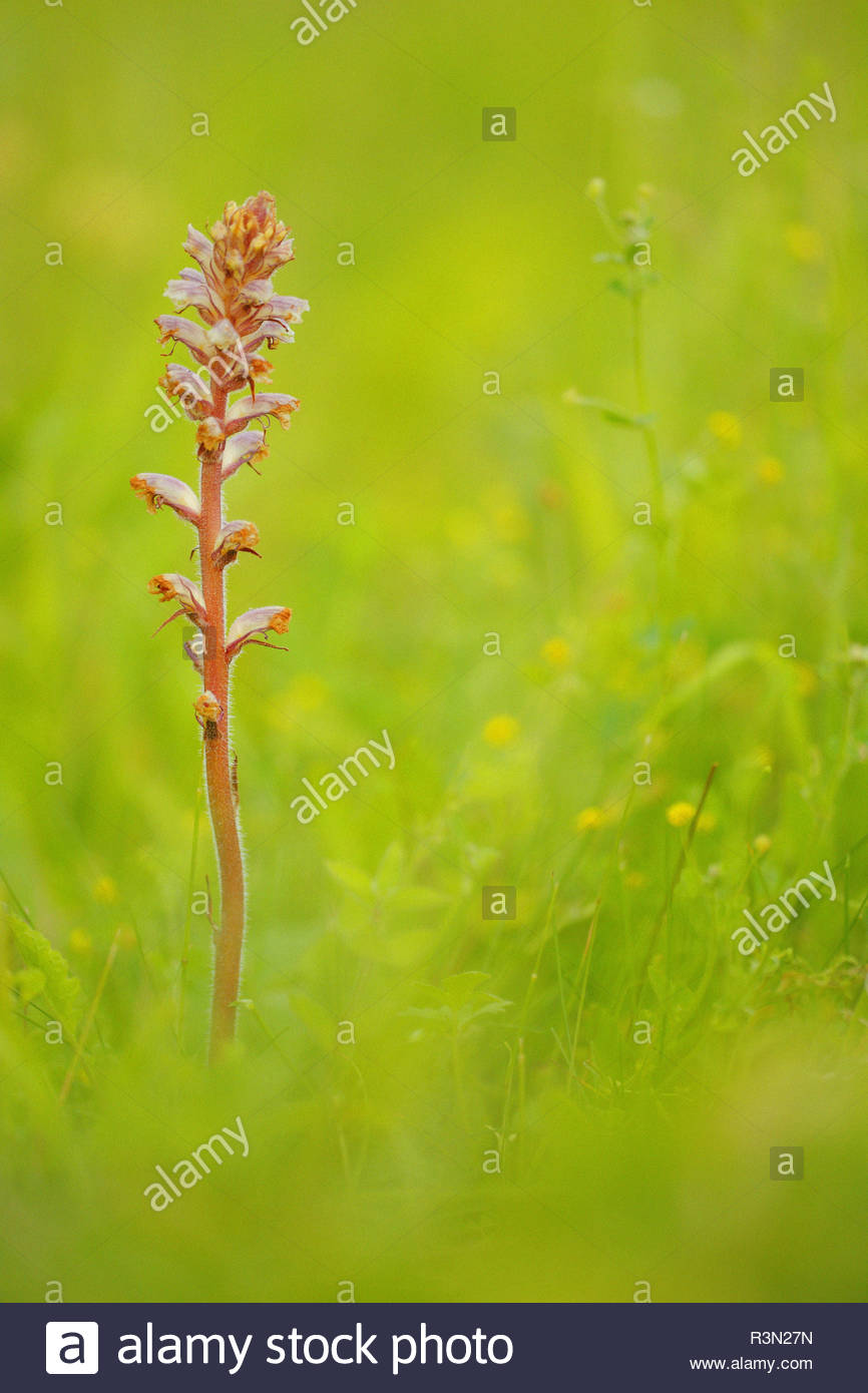 Small Broomrape (Orobanche minor) in the grass of a meadow where Field Clover (Trifolium campestre) grows in spring, in June, Picardie, France. This Orobanche lives in symbiosis with clover whose parasitic roots. - Stock Image