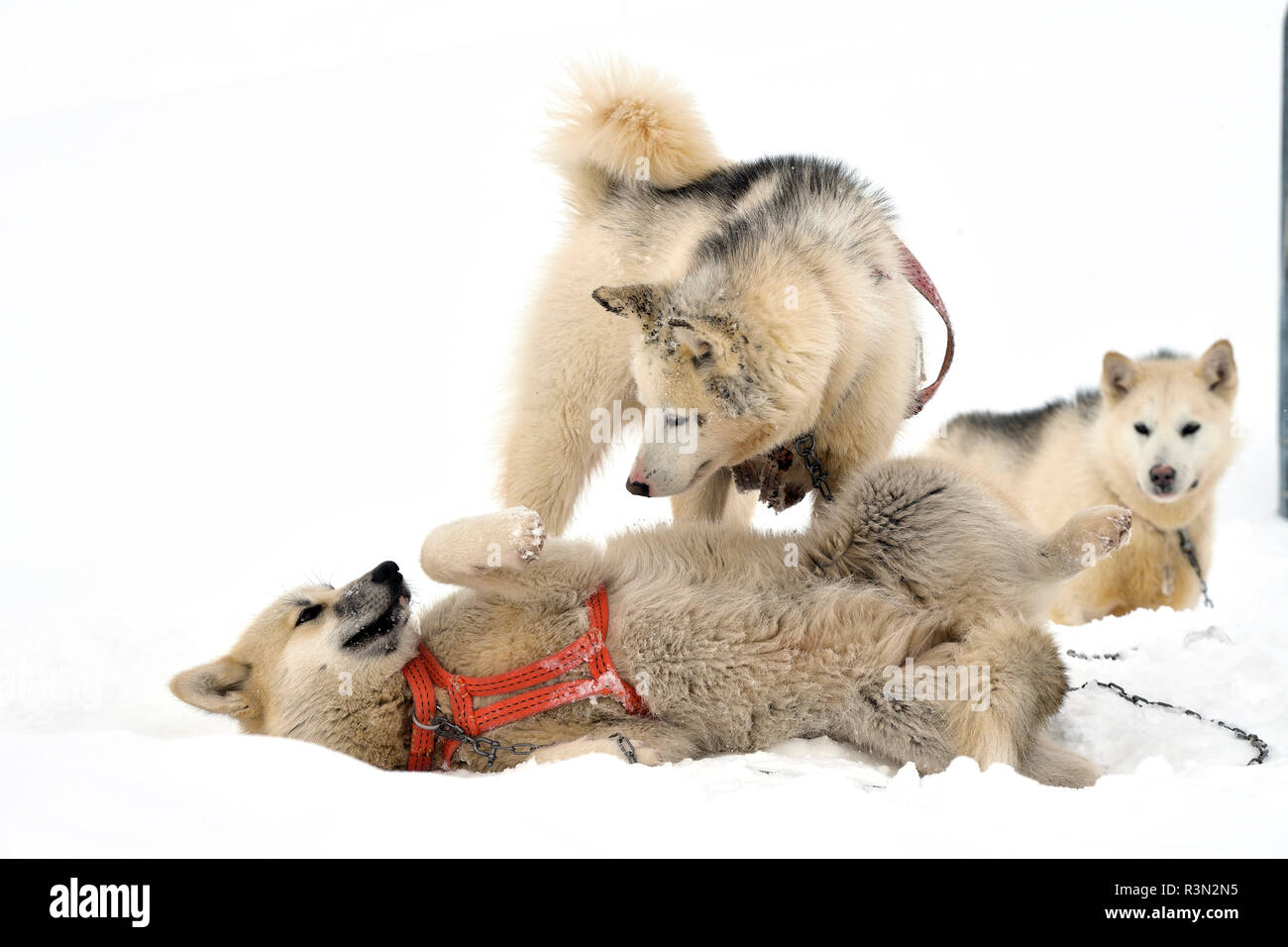 Ssled dogs playing, Ittoqqotoormit village, East Greenland - Stock Image
