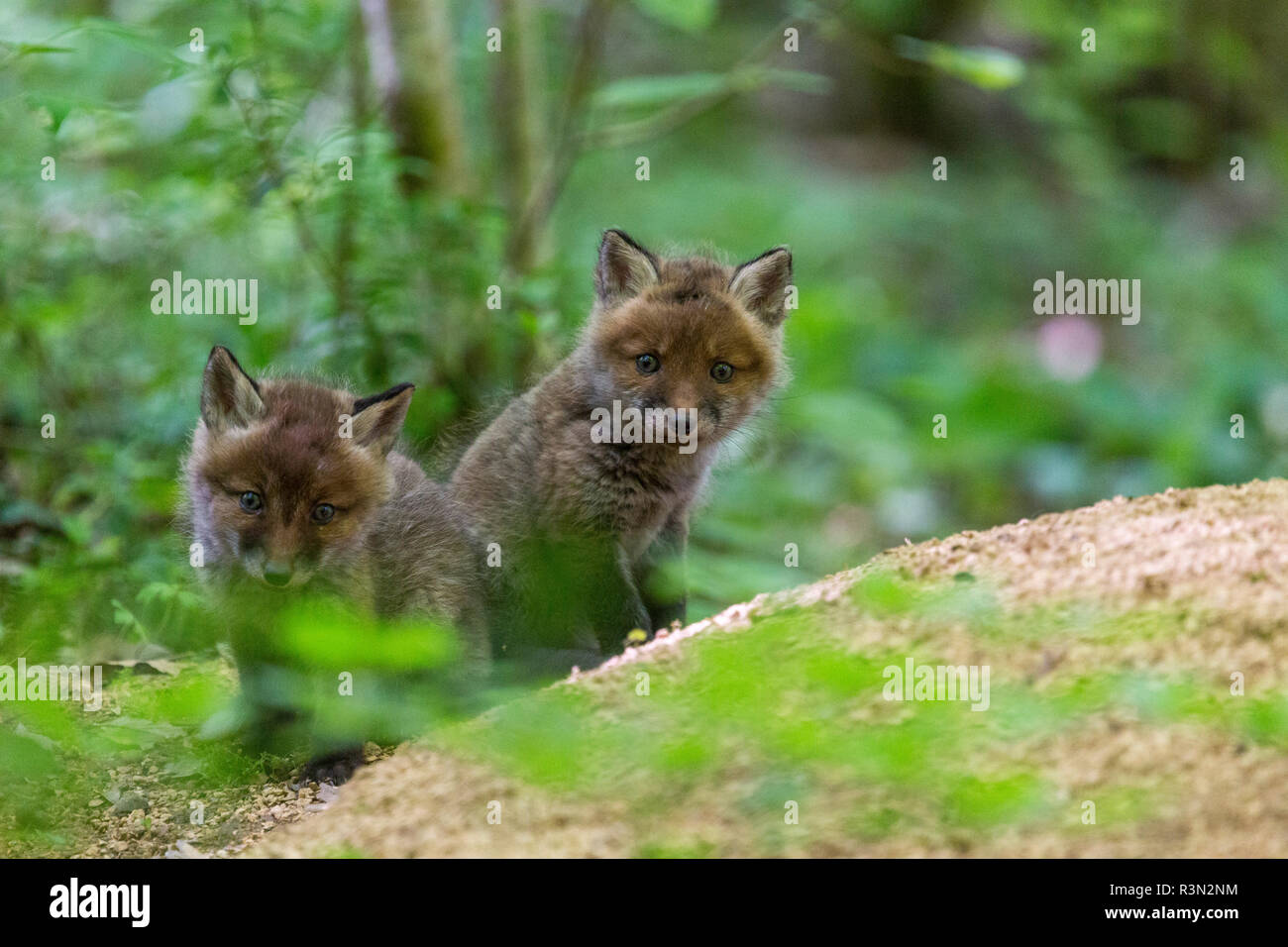 Red fox (Vulpes vulpes) young near the burrow, France - Stock Image