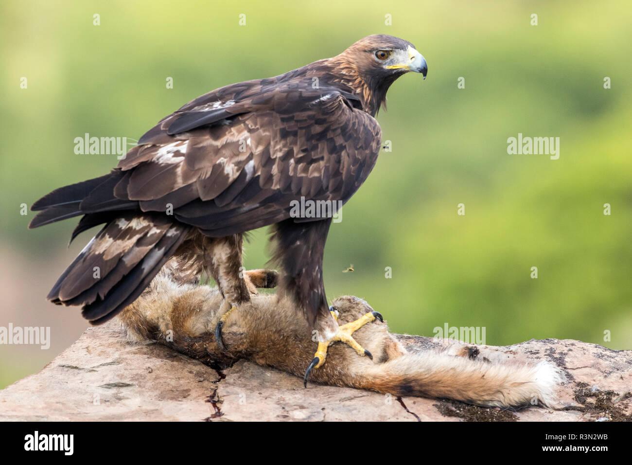 Golden Eagle (Aquila chrysaetos) with prey on rock, Cordoba, Spain - Stock Image