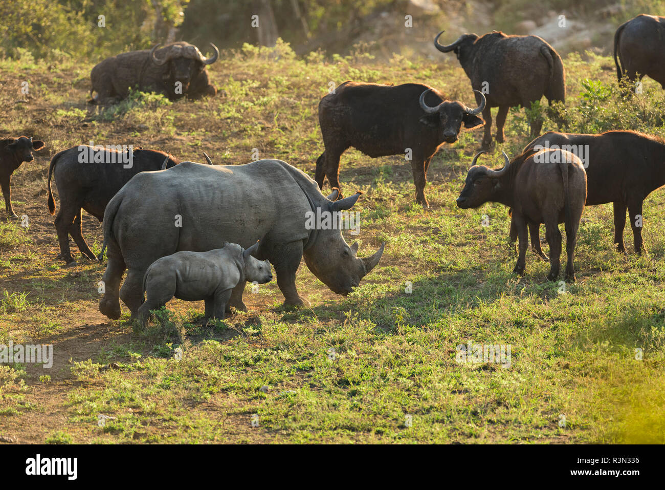 White Rhinoceros (Ceratotherium simum), young and his mother in front of the bufallo herd, Kruger national park, South Africa - Stock Image
