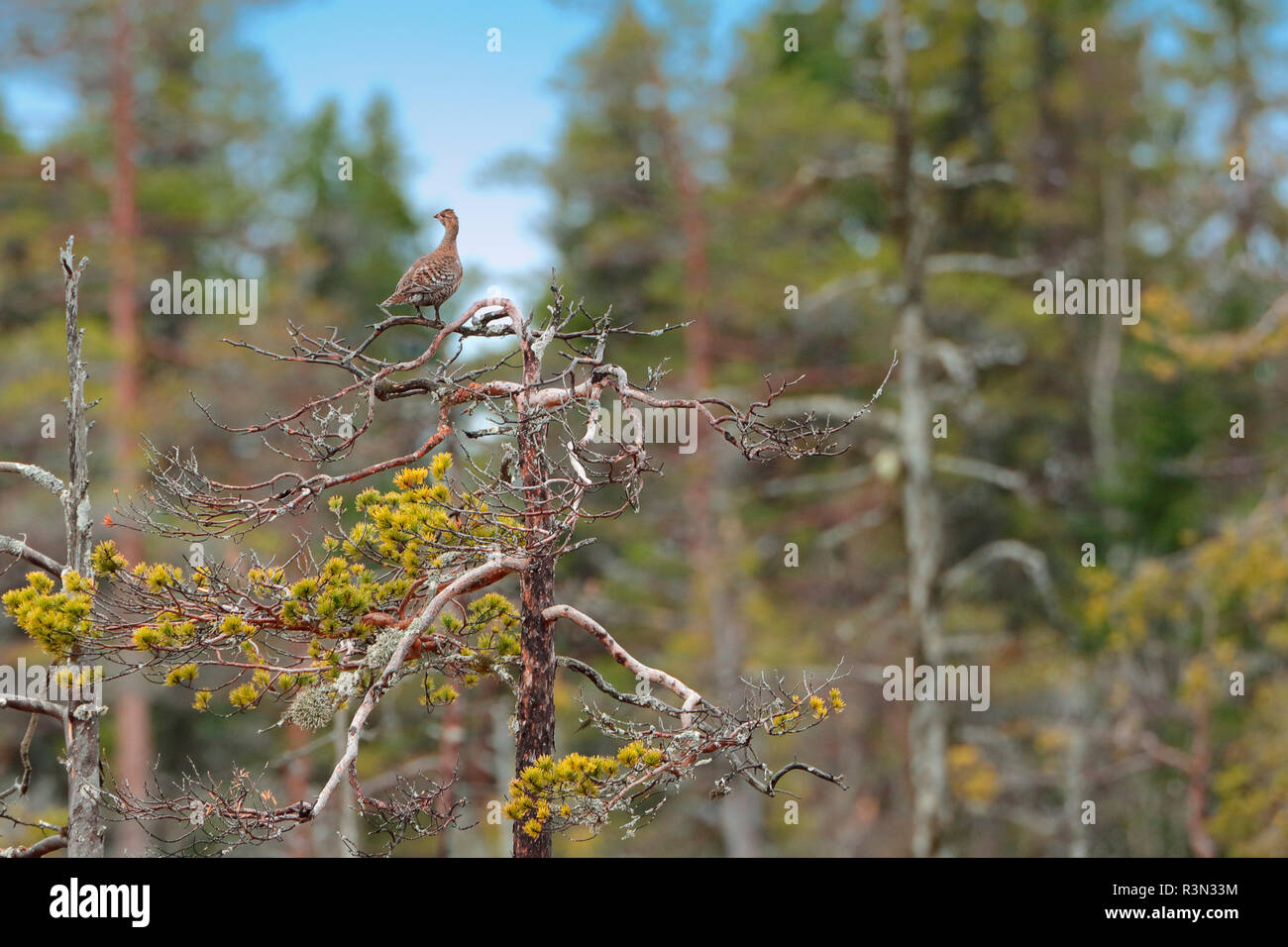 Black grouse (Lyrurus tetrix) female perched on a pine, Display on peat bog, Sweden - Stock Image