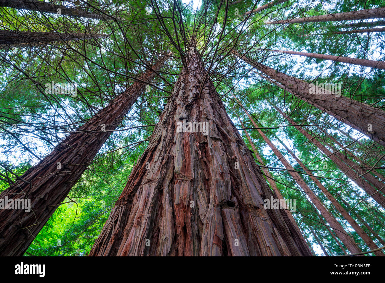 Sequoia - Sequoya (Sequoia sempervirens) is the sole living species of the genus Sequoia in the cypress family Cupressaceae (formerly treated in Taxodiaceae). Common names include coast redwood, coastal redwood and California redwood - Stock Image