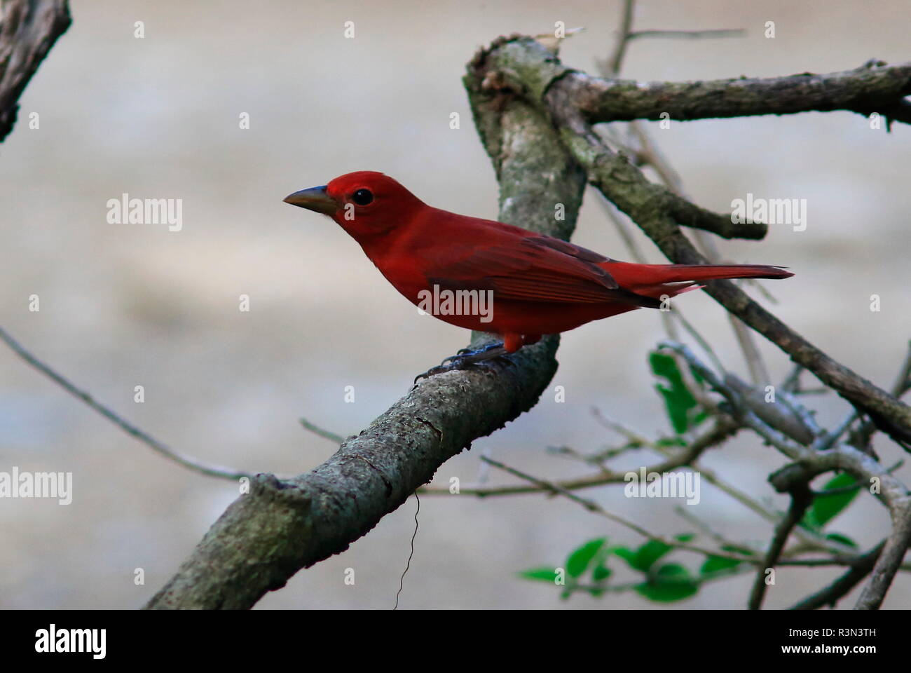 Scarlet tanager (Piranga olivacea) on a branch, Costa Rica - Stock Image