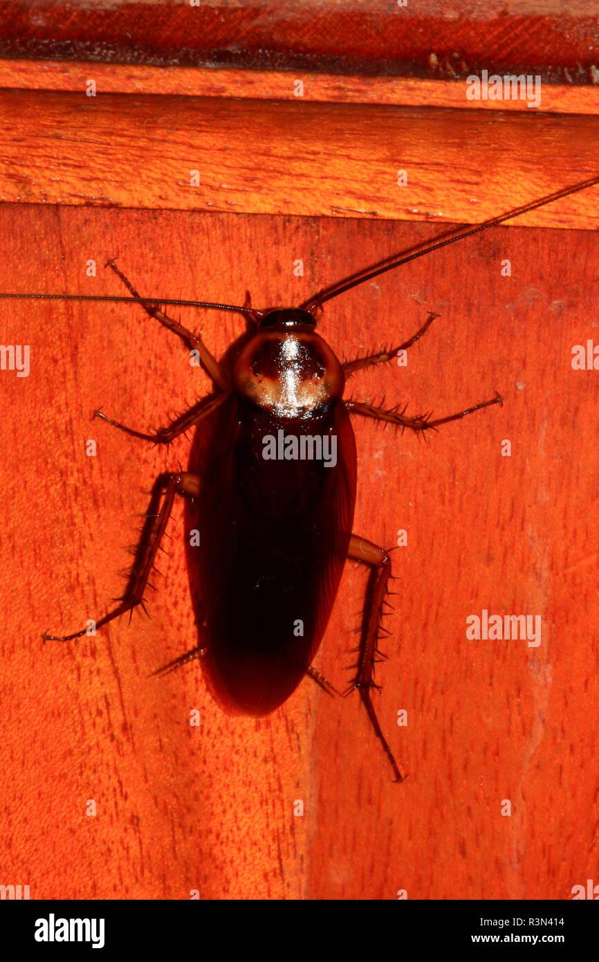American Cockroach (Periplaneta americana) - Stock Image