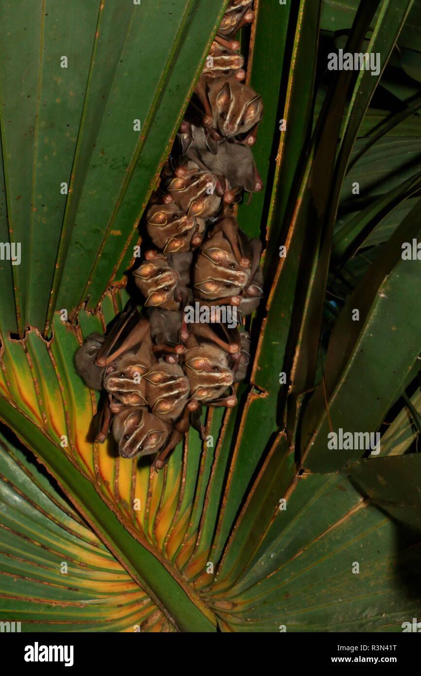 Tent-making bat (Uroderma bilobatum) group on leaf, Costa Rica - Stock Image