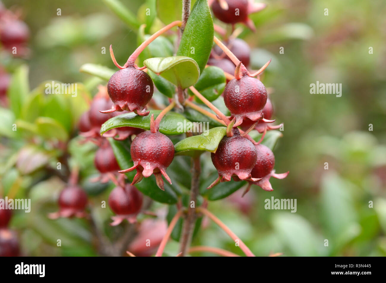 Chilean guava (Ugni molinae), Myrtaceae endemic to Chile, Unripe berries, Chiloe National Park, Cucao, Chiloe Island, X Region of the Lakes, Chile - Stock Image