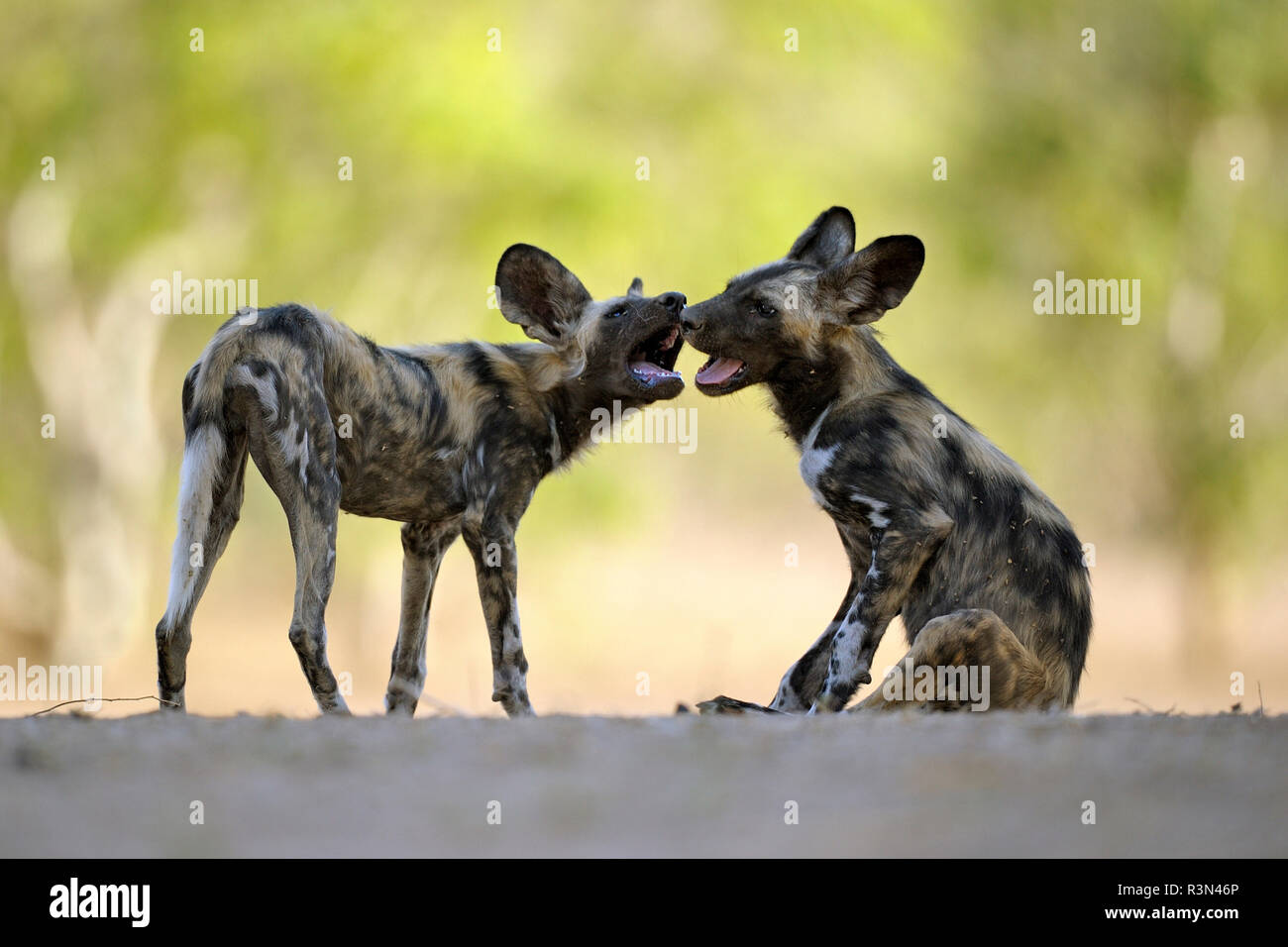 African wild dog (Lycaon pictus) young playing while the rest of the group is taking a nap, Mana Pools, Zimbabwe - Stock Image
