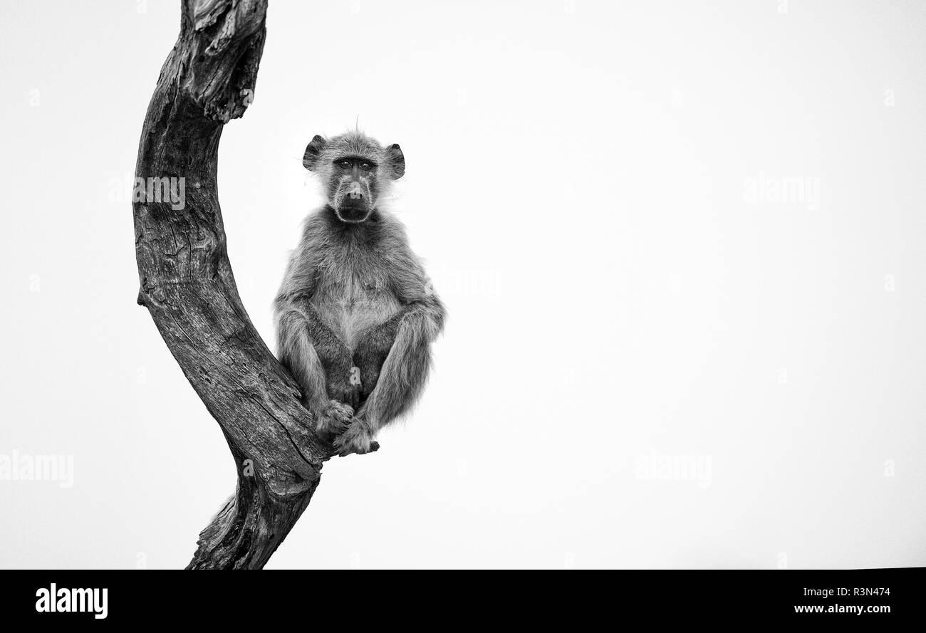 Chacma baboon (Papio hamadryas ursinus) young sitting balanced on a trunk, Hwange, Zimbabwe - Stock Image