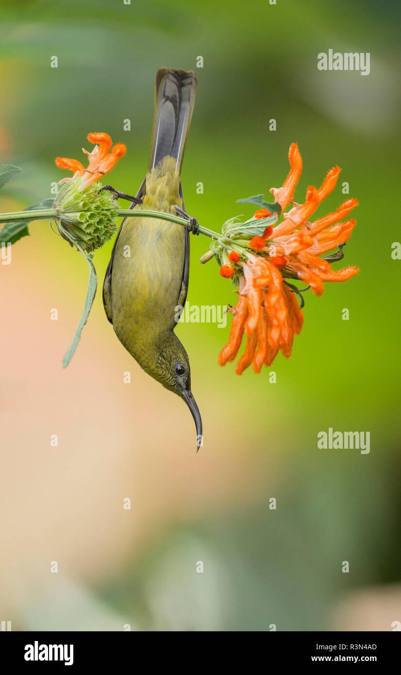 Olive sunbird (Cyanomitra olivacea) near flowers, Hluhluwe-Umfolozi, South Africa - Stock Image