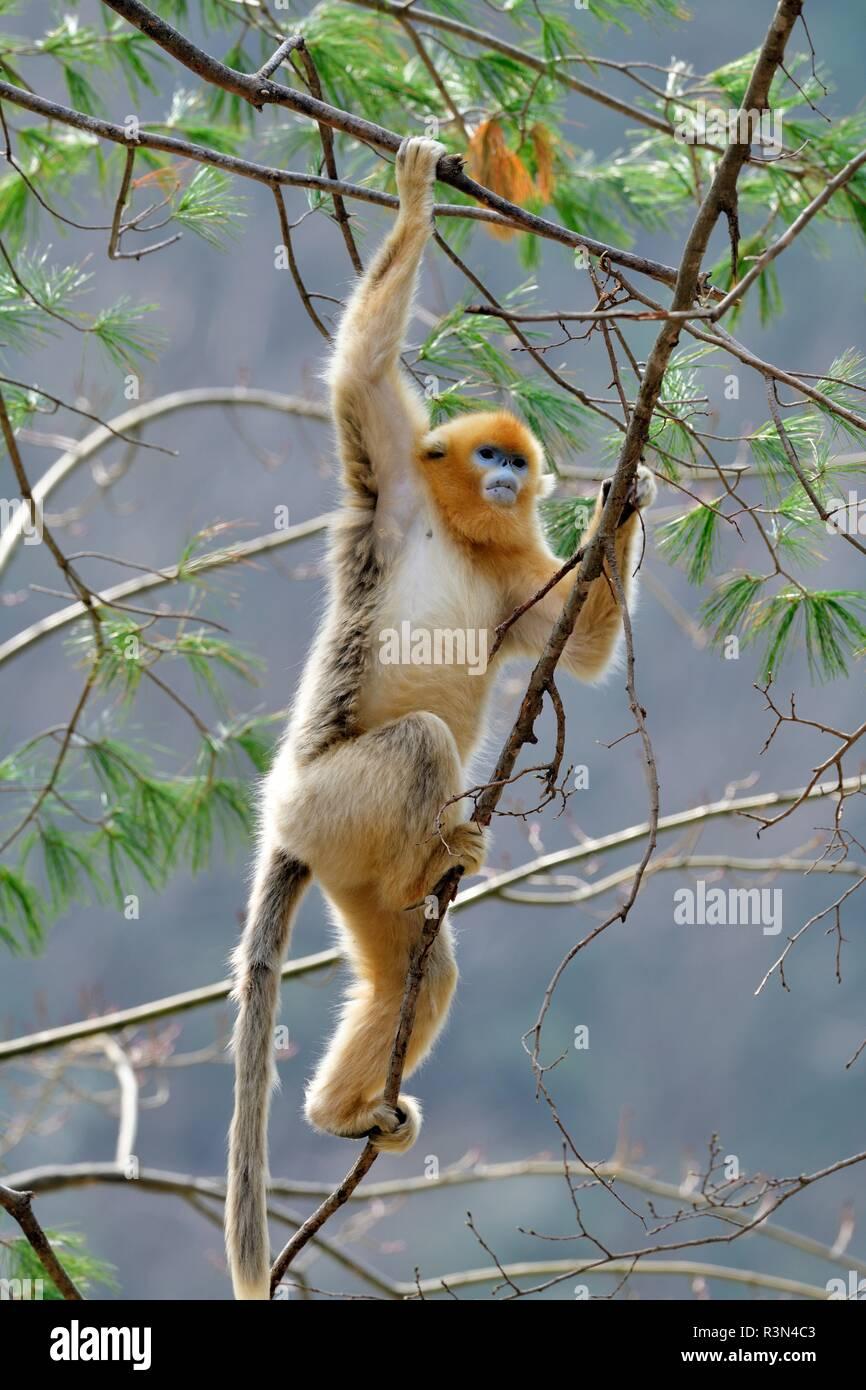 Golden snub-nosed monkey (Pygathrix roxellana) on a branch, Shannxi Province, China - Stock Image