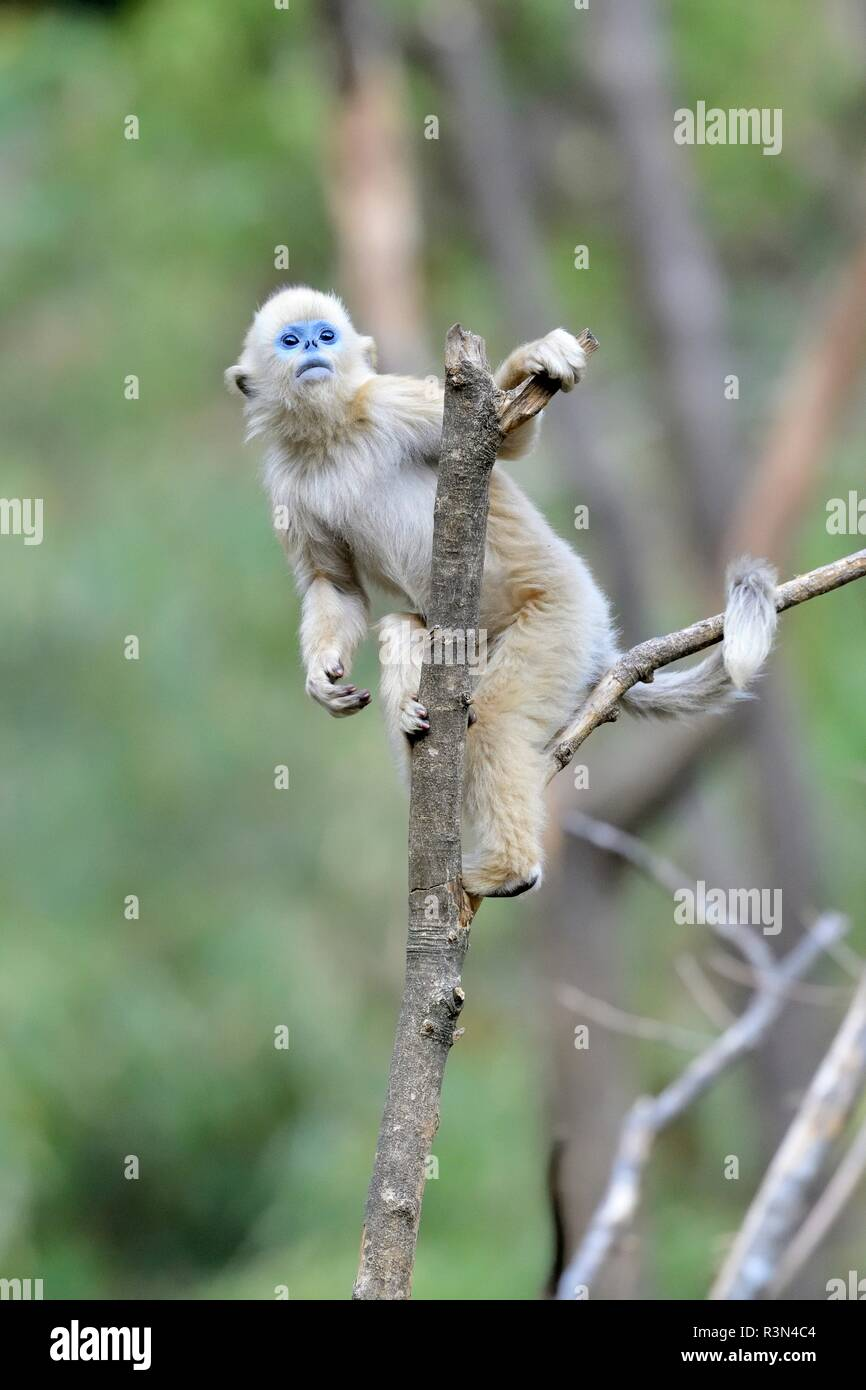 Golden snub-nosed monkey (Pygathrix roxellana) young on a branch, Shannxi Province, China - Stock Image
