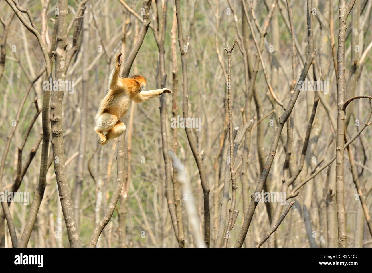 Golden snub-nosed monkey (Pygathrix roxellana) leaping from branch to branch, Shannxi Province, China - Stock Image
