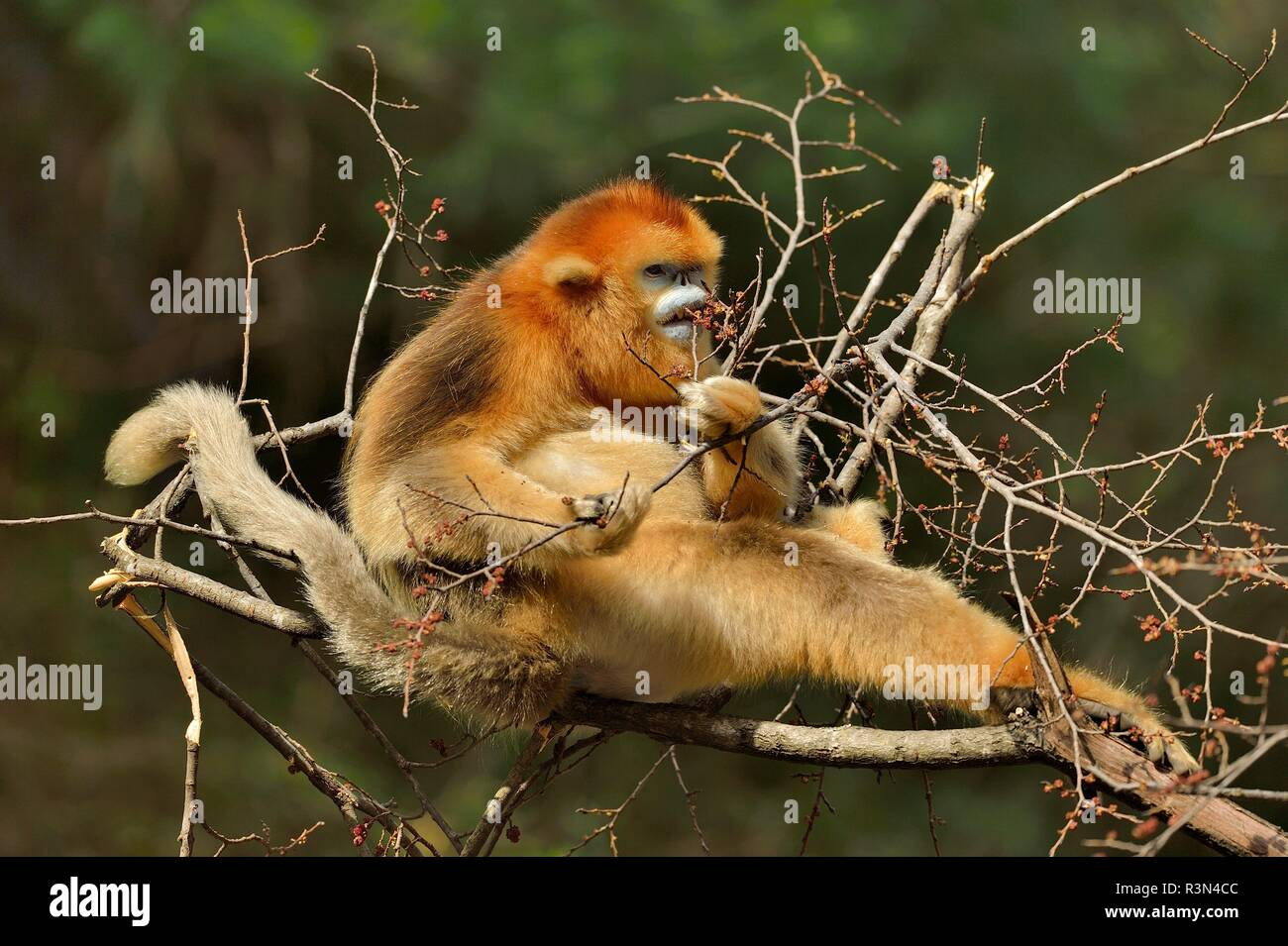Golden snub-nosed monkey (Pygathrix roxellana) eating on a branch, Shannxi Province, China - Stock Image