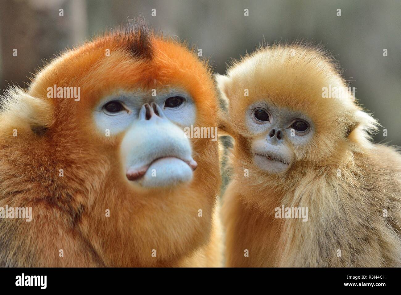 Golden snub-nosed monkey (Pygathrix roxellana) and young, Shannxi Province, China - Stock Image