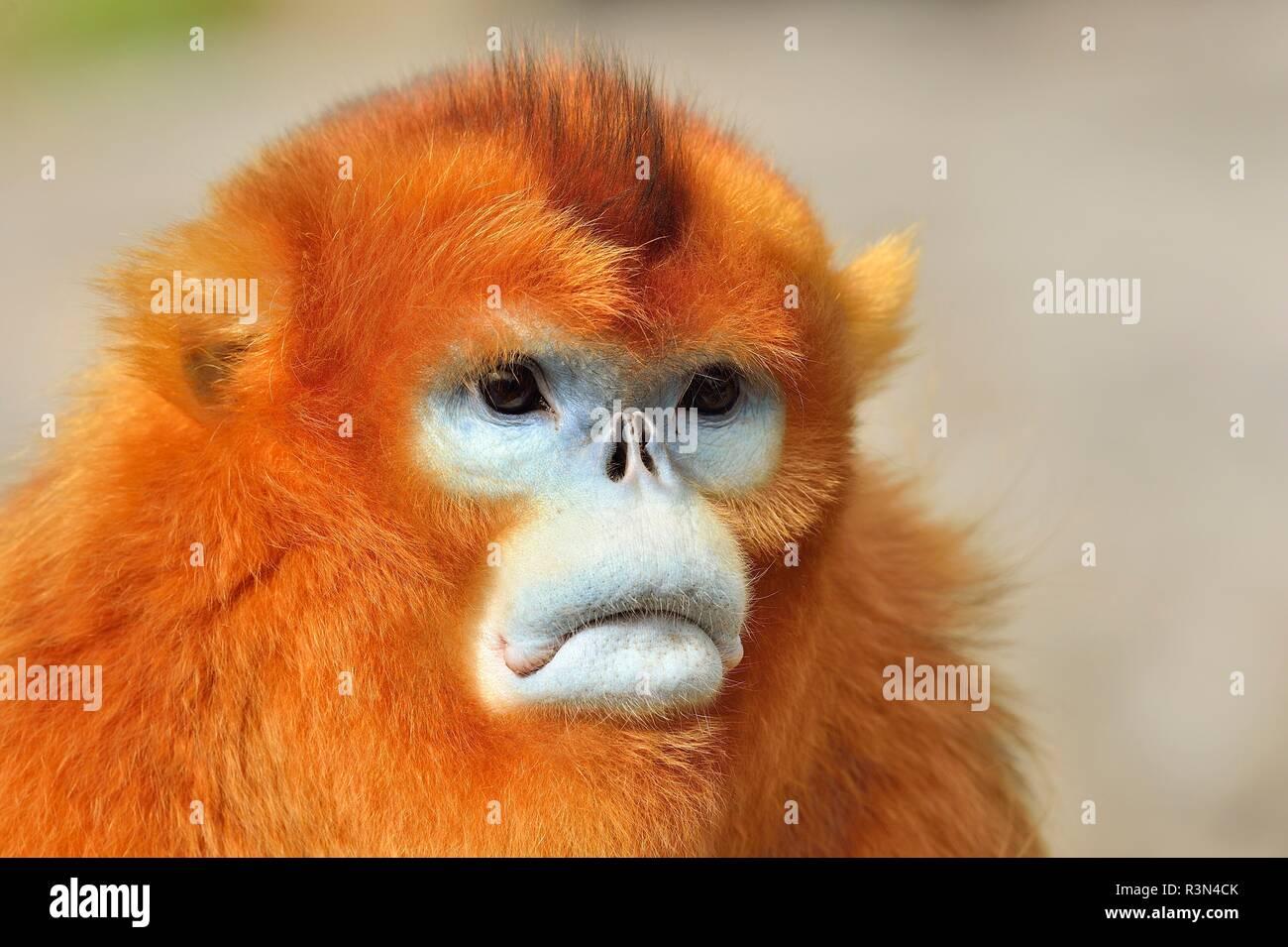 Portrait of Golden snub-nosed monkey (Pygathrix roxellana), Shannxi Province, China - Stock Image