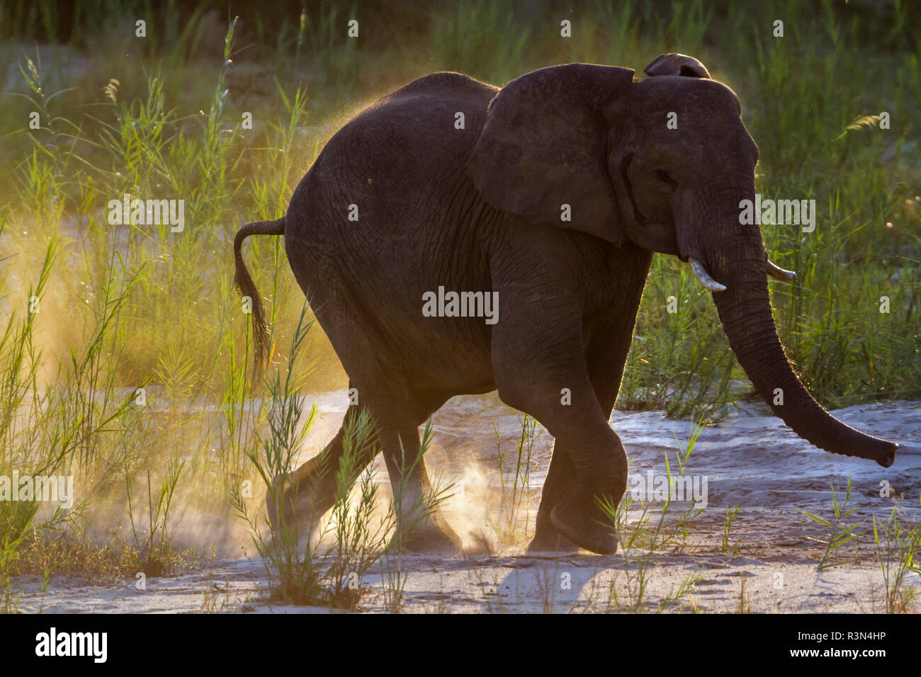 African bush elephant (Loxodonta africana) in Kruger National park, South Africa. - Stock Image