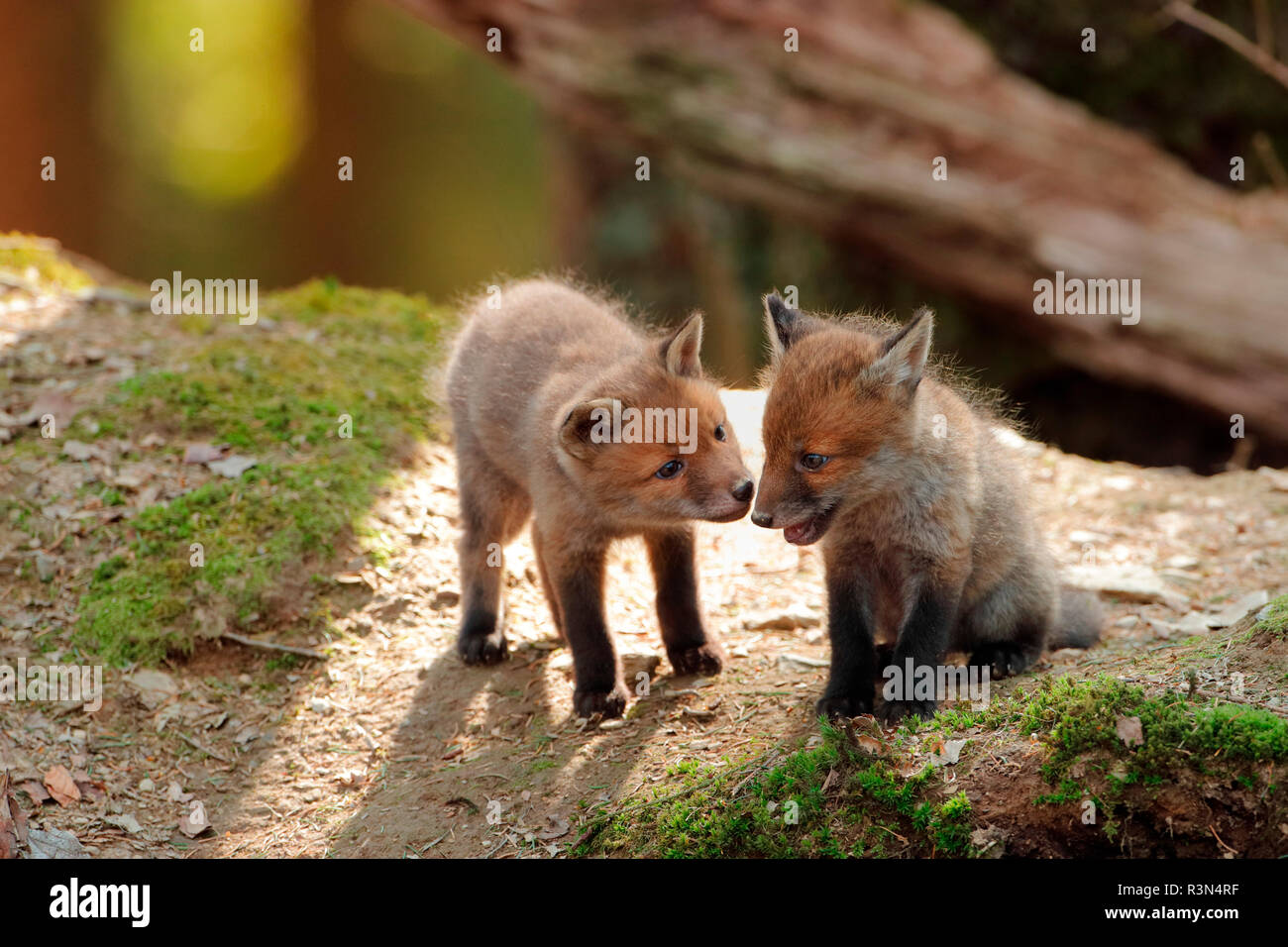 Red fox (Vulpes vulpes), Young, Ardennes, Belgium - Stock Image