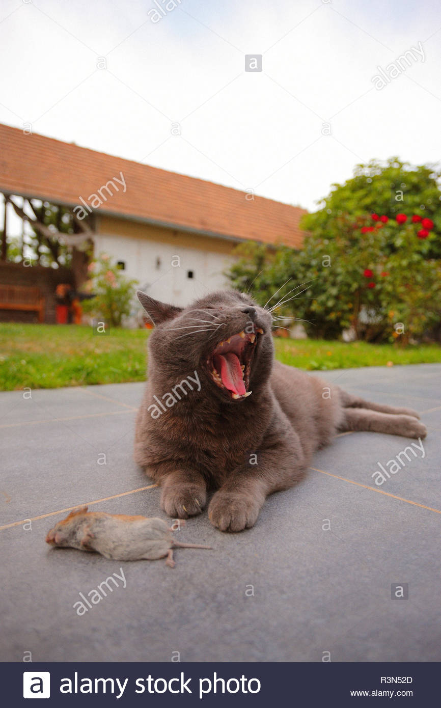 Domestic cat (Felis catus domesticus) - Chartreux - yawning lying on a terrace near a Mouse (Mus musculus) dead hunted in the garden of a dwelling house, in summer, in July, in Picardy - France. - Stock Image
