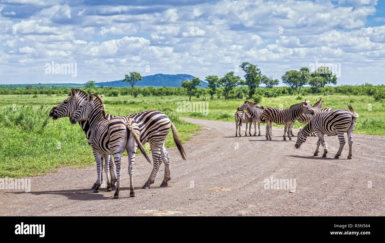Plains zebra (Equus quagga burchellii) in Kruger National park, South Africa. - Stock Image